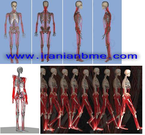 نرم افزار مدل سازی AnyBody در مهندسی پزشکی
